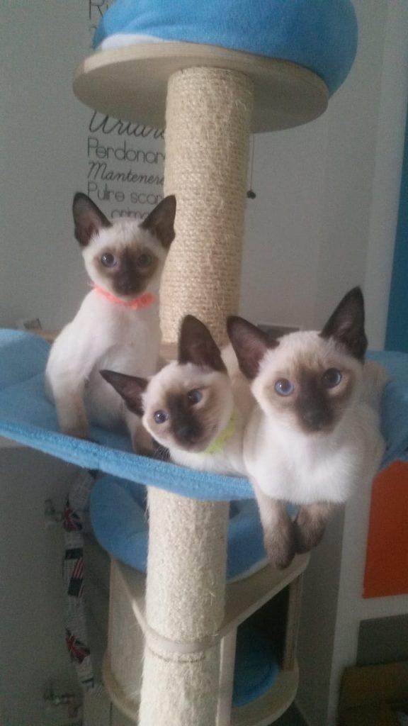 Allevamento Gatto Siamese Thai Trebleclef Cattery